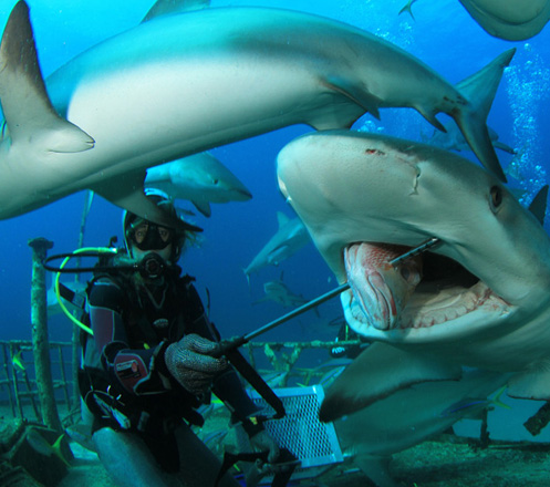 Shark Feeding: Swim with Sharks & Feed Them