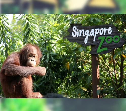 Singapore Zoo + Tram Ride
